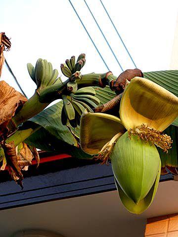 Banana_c.jpg